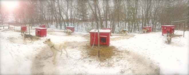 winterdogyard