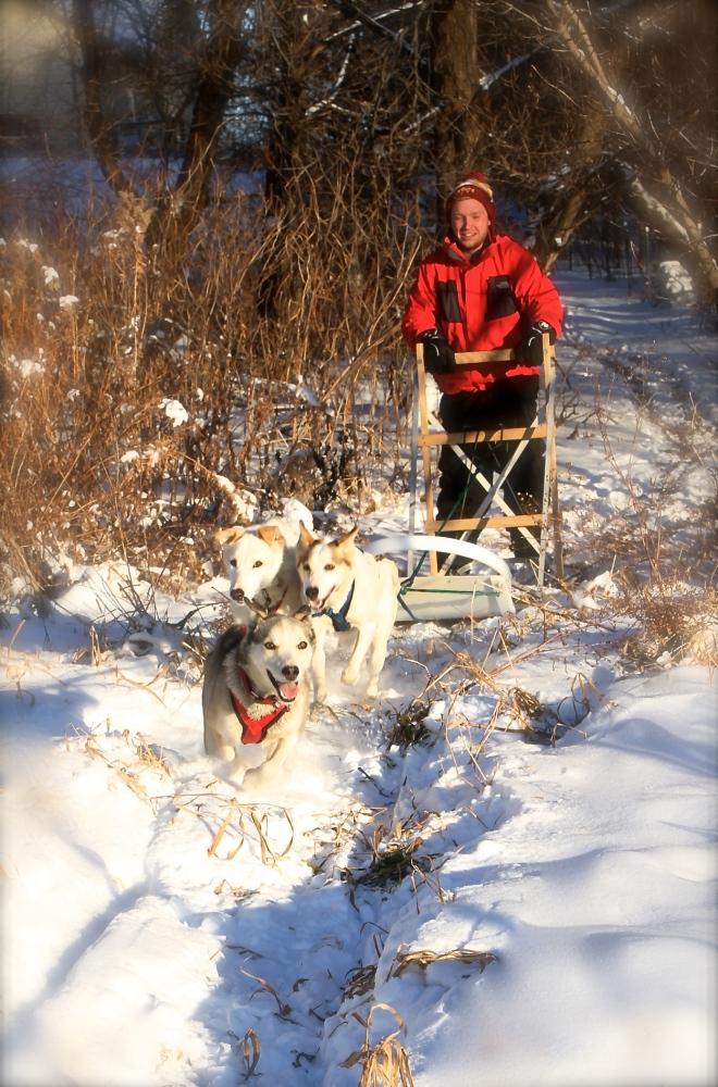 "Pearl in the lead! Our only ""in-shape"" sled dog!"