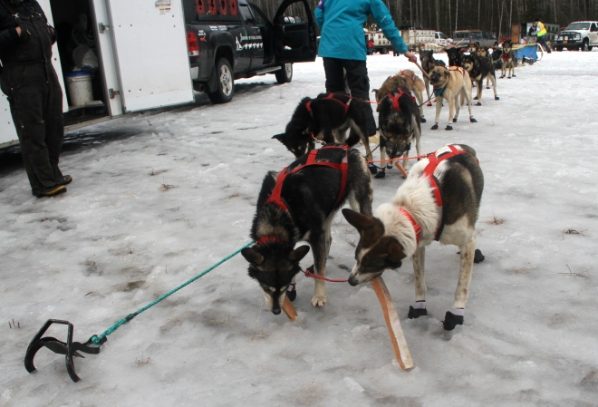This is Alaska - the dogs get salmon for an post-race treat!